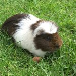 Guinea Pig Boarding in Carrington